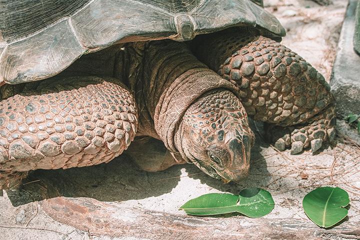 curieuse island seychelles tortoise